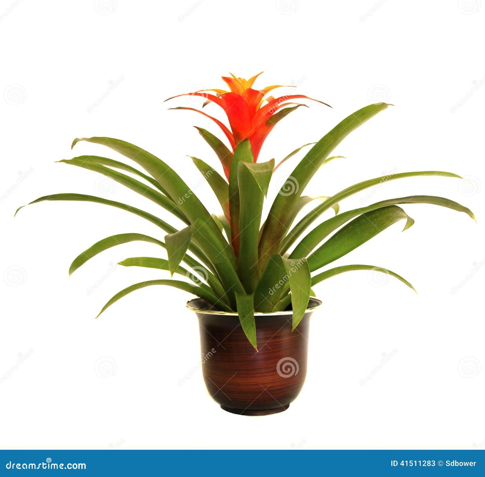 guzmania plant care instructions